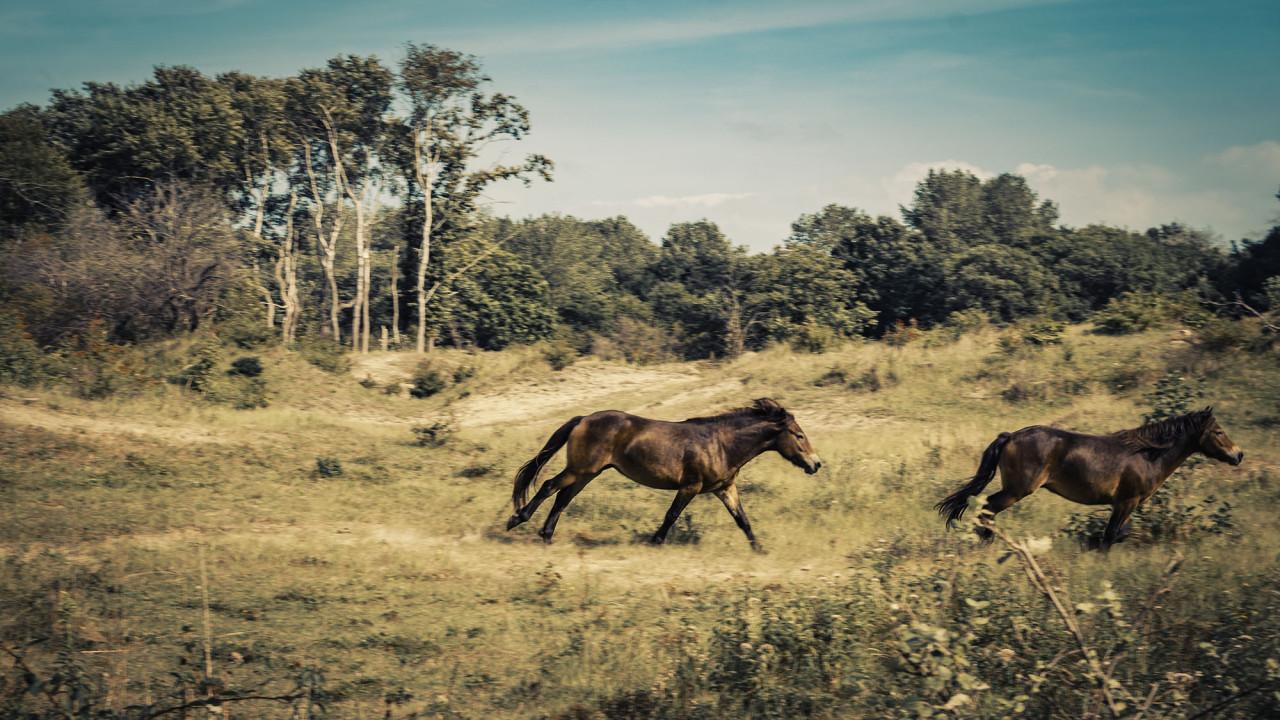 Paarden door de duinen